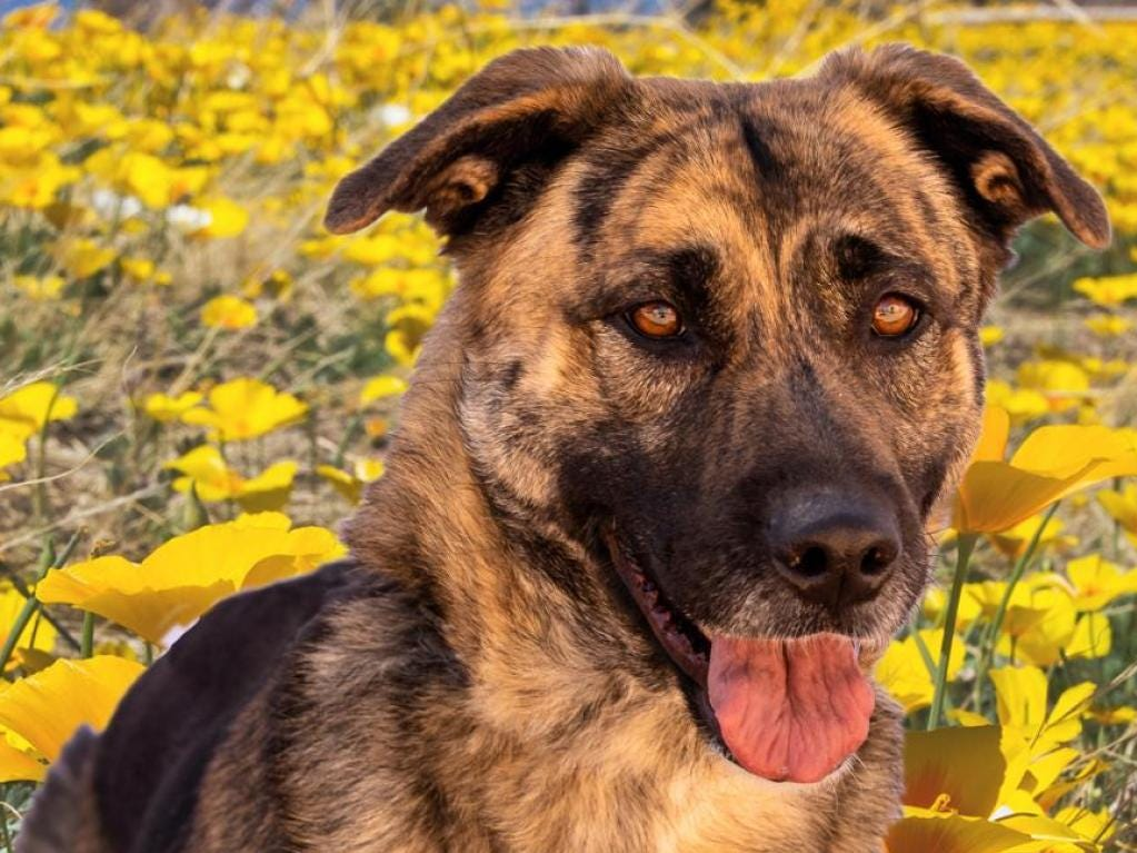 Daphnie - Female (spayed) shepherd mix. about 3 years, 2 months. Intake date: 11/12/2018