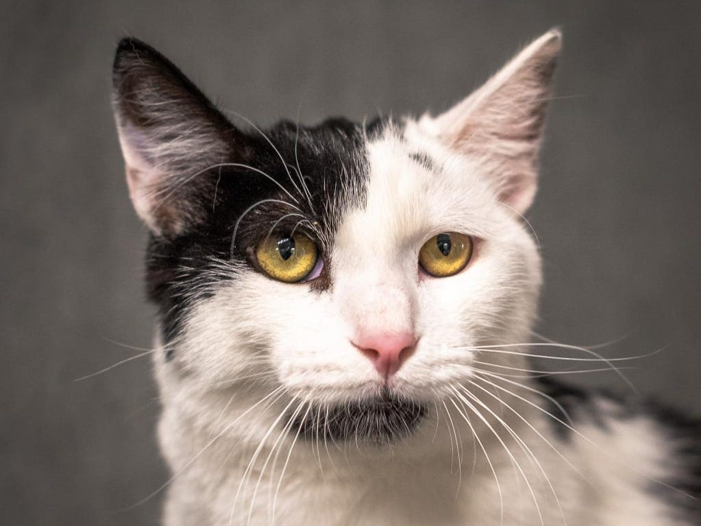 Oreo - Male (neutered) domestic short hair, about 1 year, 3 months. Intake date: 4/04/2019