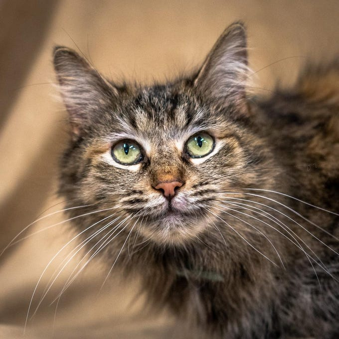 Gertrude - Female (spayed) domestic long hair, about 6 years. Intake date: 3/19/2019