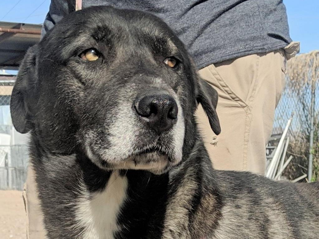 Randy - Male (neutered) retriever-Labrador mix, about 6 years, 9 months. Intake date: 12/11/2018