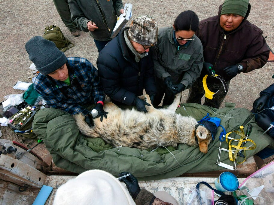 In this Feb. 13, 2019, photo provided by the U.S. Fish and Wildlife Service, members of the Mexican gray wolf recovery team gathering data from a wolf captured during an annual census near Alpine, Ariz. The agency announced the results of the survey Monday, April 8, 2019, saying there has been an increase in the population of Mexican gray wolves in the wild in New Mexico and Arizona. (Mark Davis, U.S. Fish and Wildlife Service via AP)