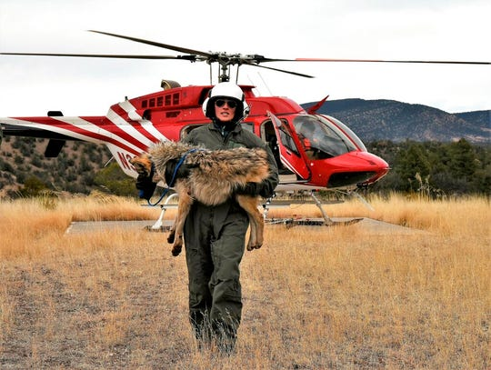 A member of the Mexican gray wolf recovery team carries a wolf captured during an annual census near Alpine, Ariz.