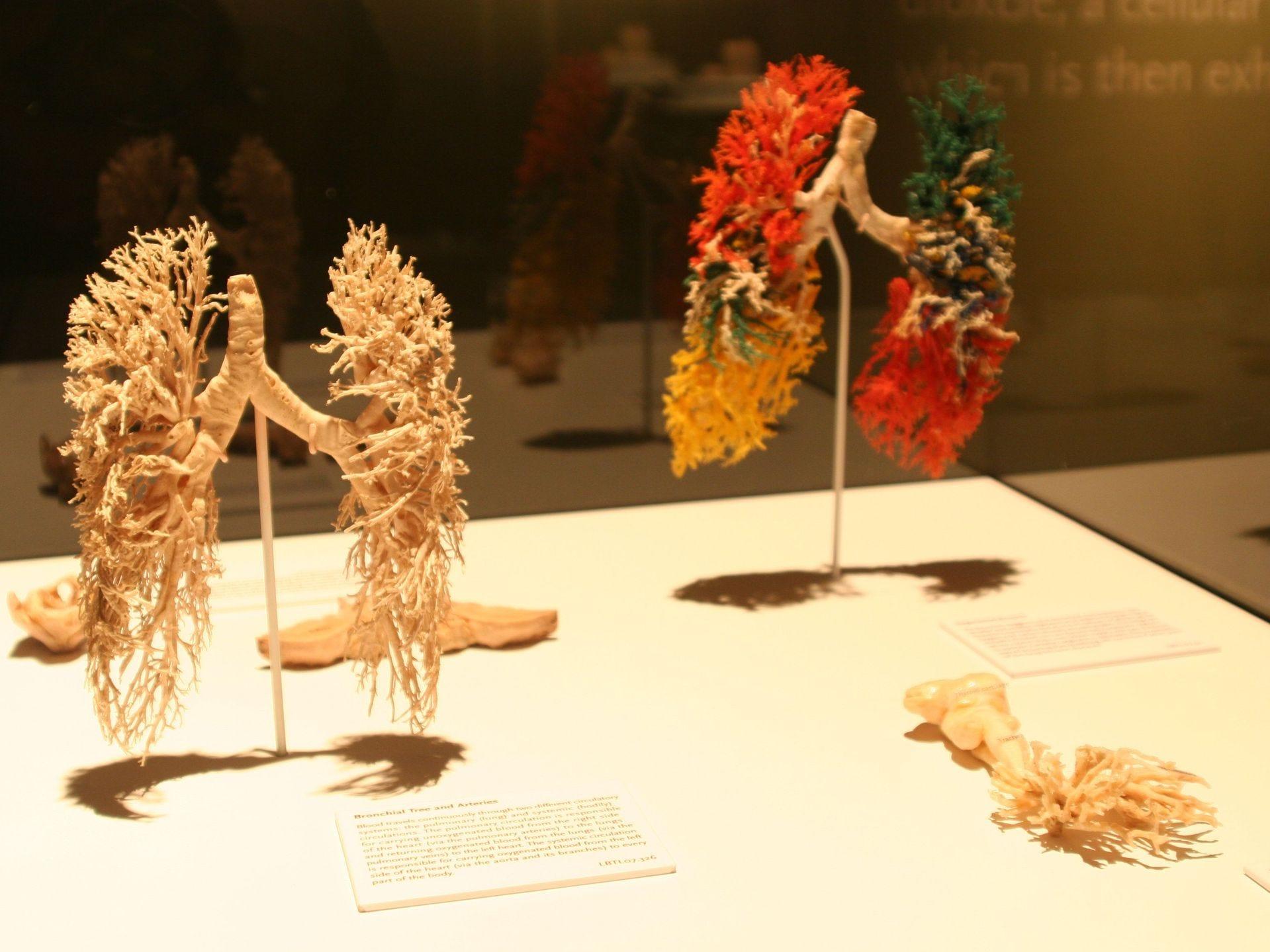 Se muestran las complejidades de los huesos, músculos, nervios, vasos sanguíneos y órganos.