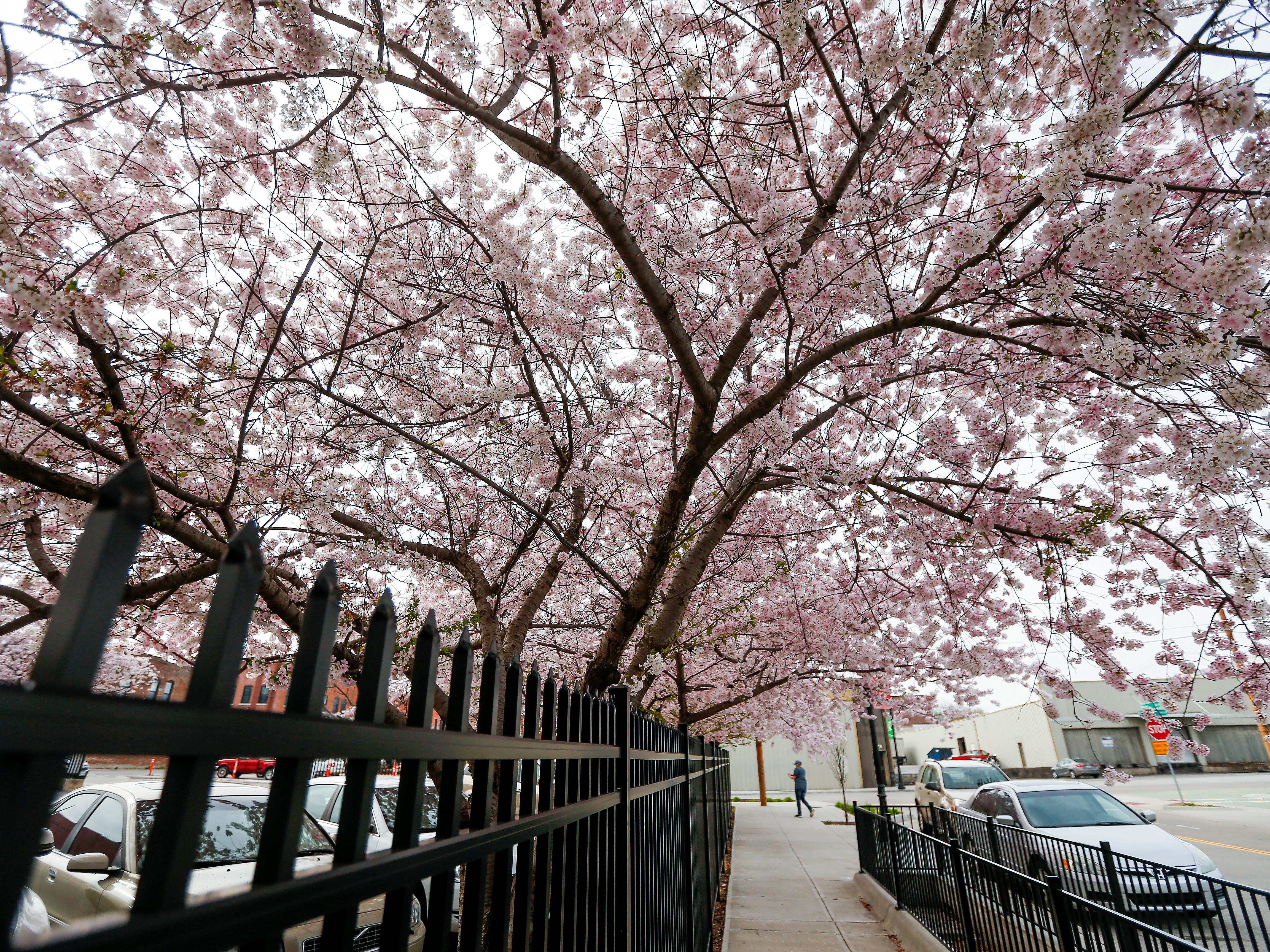 The flowering trees are in bloom at the intersection of College Street and Main Avenue in Downtown Springfield.