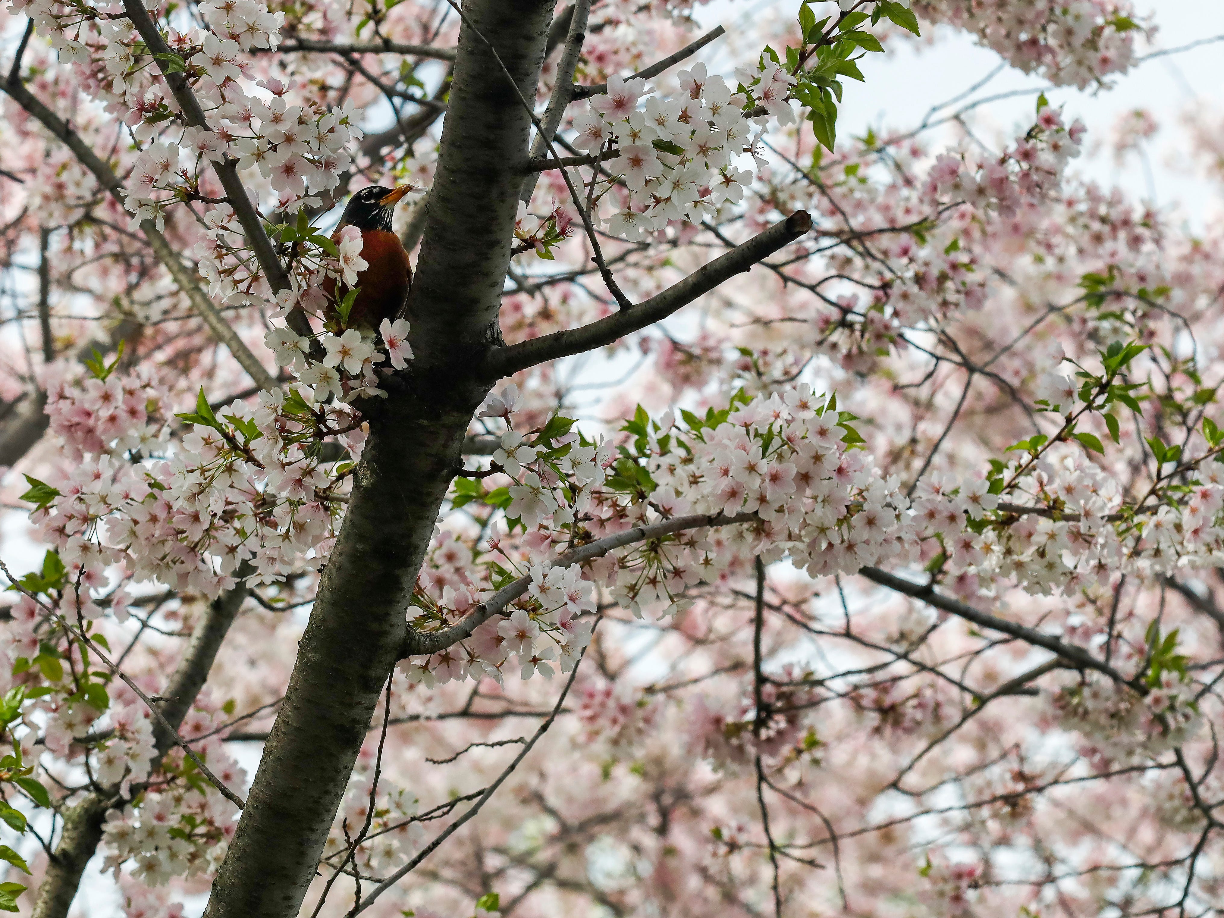 A bird sits in a flowering tree at Jordan Valley Park on Monday, April 8, 2019.
