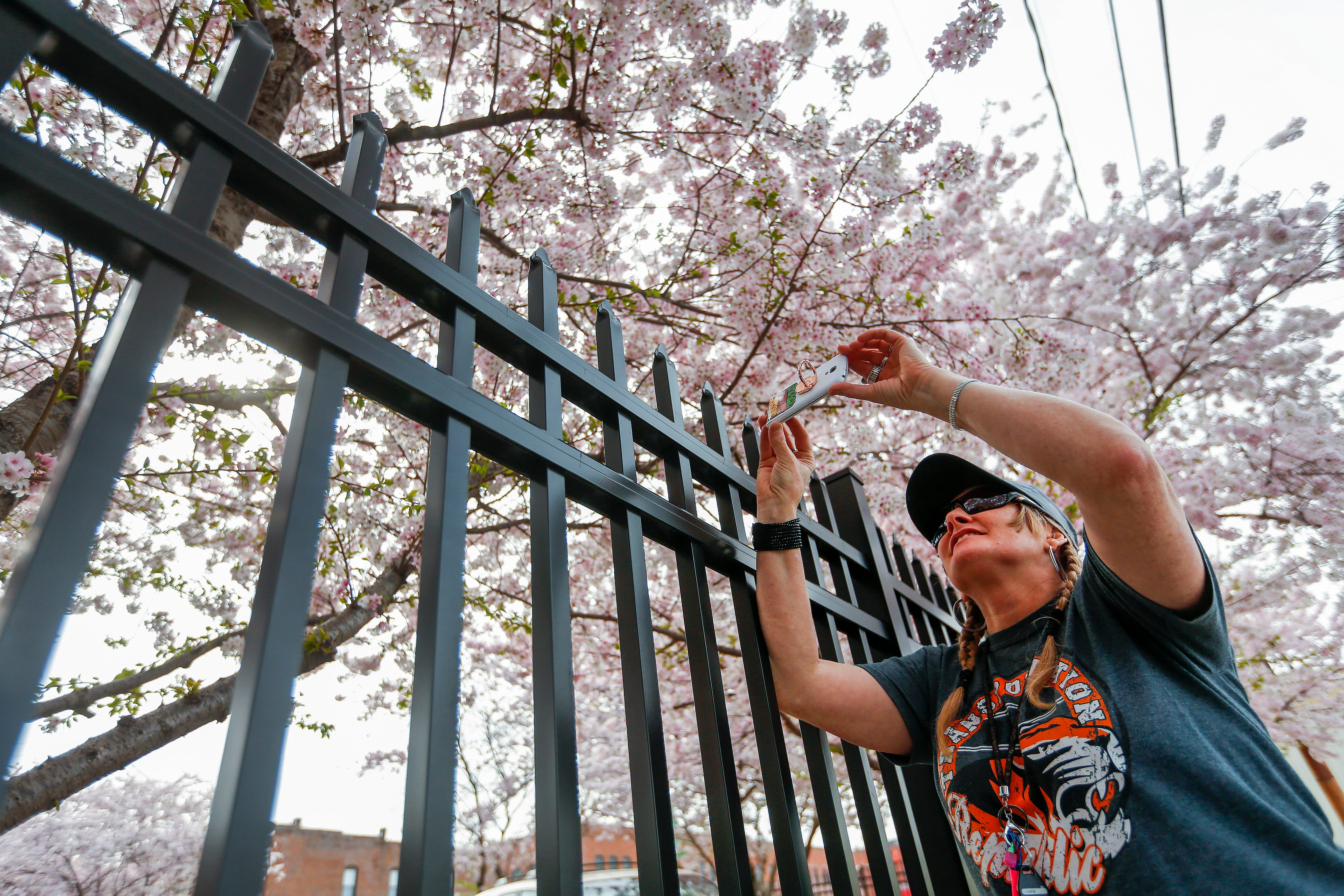 Christy Batey drove in from Republic to photograph the flowering trees at the intersection of College Street and Main Avenue in Downtown Springfield on Monday, April 8, 2019.