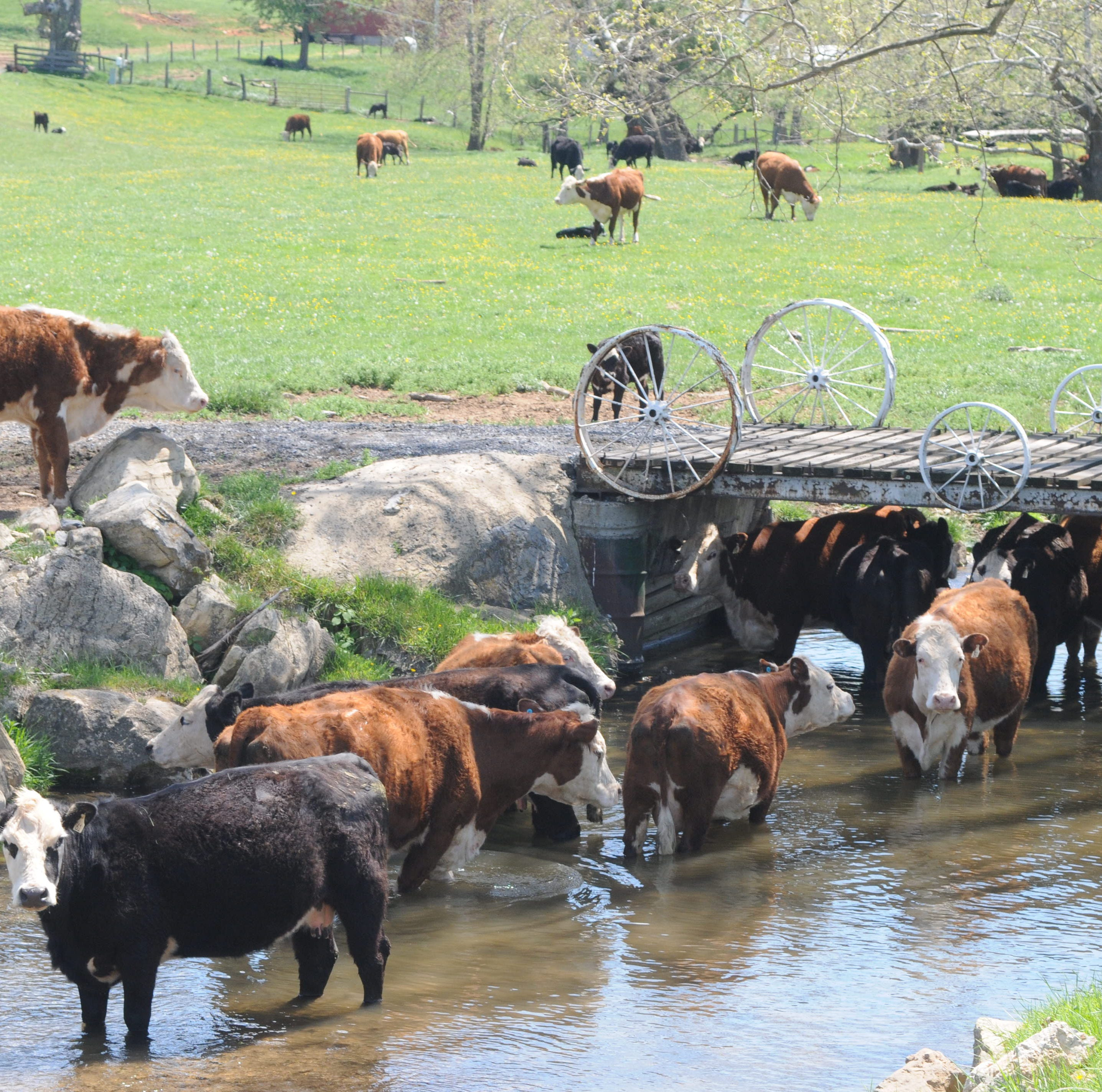 Report: Augusta farmers not keeping cattle out of streams