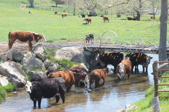 Cows cooling off beneath a bridge over Whiskey Creek in Augusta County.