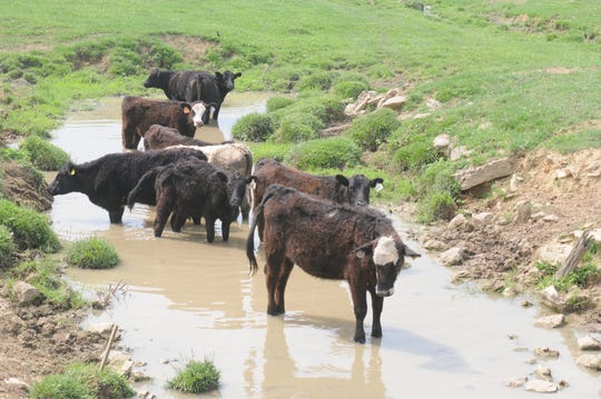 Cows in Augusta County's Elk Run.