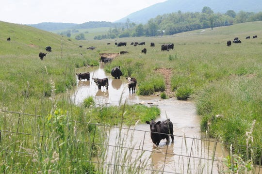 Cows in Middle River, a tributary to the Shenandoah in Augusta County.