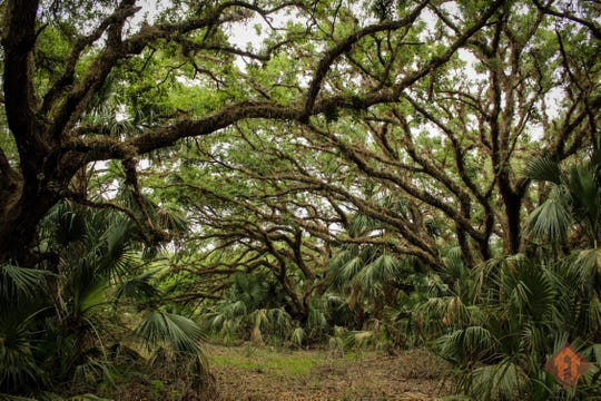 One of many spectacular oak hammocks to be found on the Florida National Scenic Trail. You can walk to this one from the Micco Landing trail head in Okeechobee County.