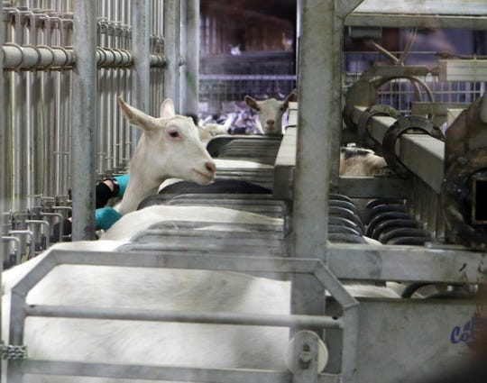 Goats are curious about the group of students watching the evening milking at LaClare Family Creamery on April 6.