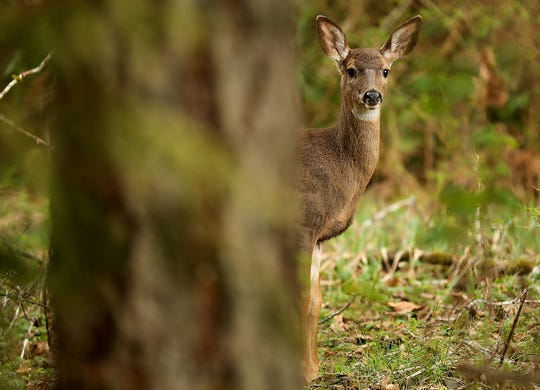 A deer peeks out from behind a tree in this file photo