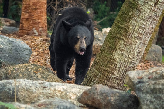Brevard Zoo guests can now visit the Florida black bear, a 2-year-old female.