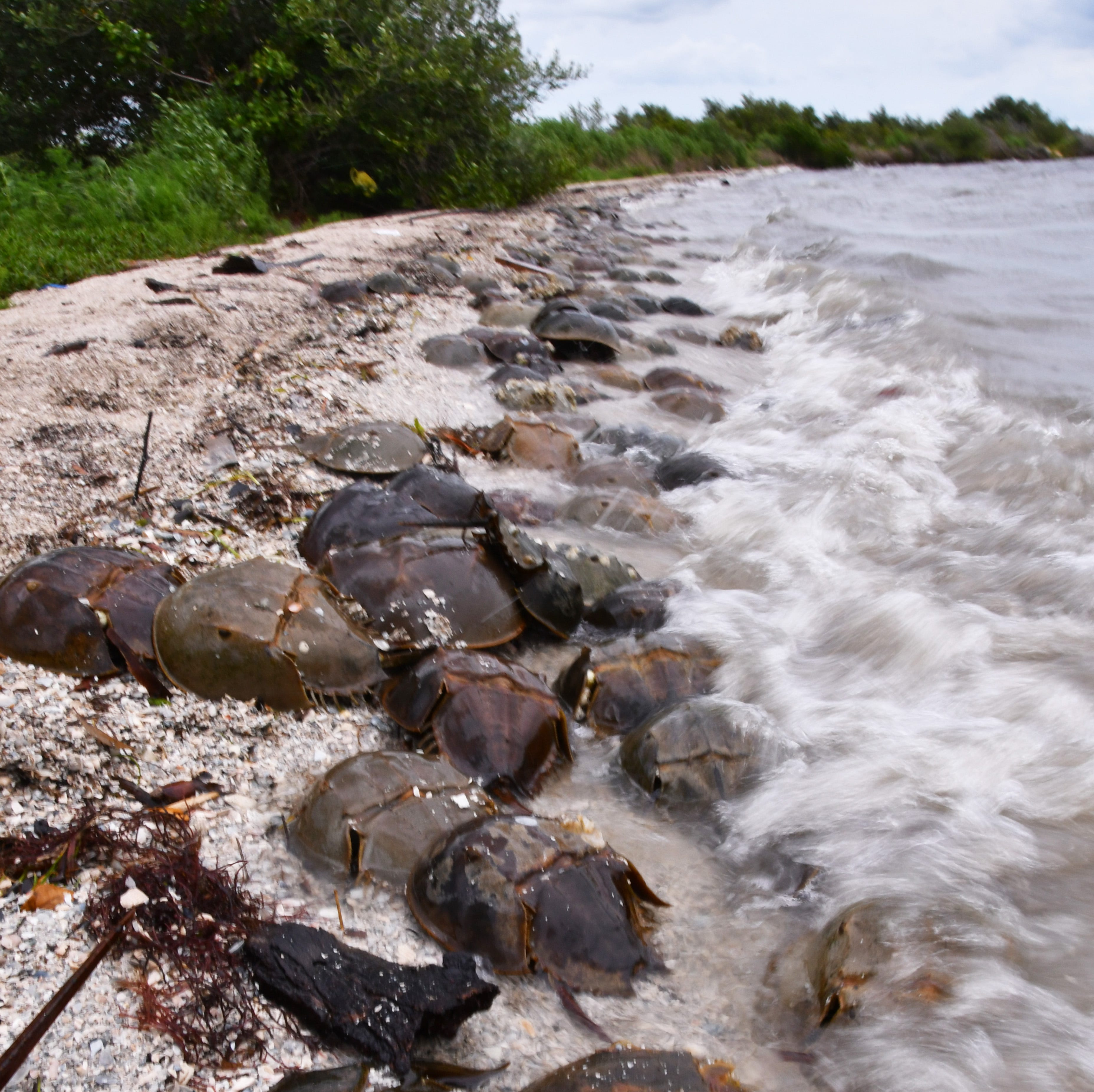 Thousands of horseshoe crabs spawn in Titusville