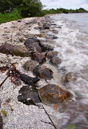 Horseshoe crabs mate year-round, but more frequently in March and April, and right now thousands are mating on the south side of the Titusville Causeway east of the Max Brewer Bridge. On Monday and Tuesday, citizen scientists for the FWC Laurilee Thompson and Bill Klein were were logging and tagging horseshoe crabs on the north side of the causeway. They counted 5,000 crabs on the south side of the causeway.