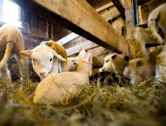 Baby lambs huddle together as their mother sheep feed at the Farm Barn at Shelburne Farms on Monday, March 22, 2010.  Approximately 100 lambs were birthed during the season.