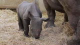 Blank Park Zoo's 9-year-old eastern black rhino Ayana gave birth to her second daughter on April 5, 2019. The rhino calf was walking and nursing within about two hours — signs of a healthy baby, the zoo said.