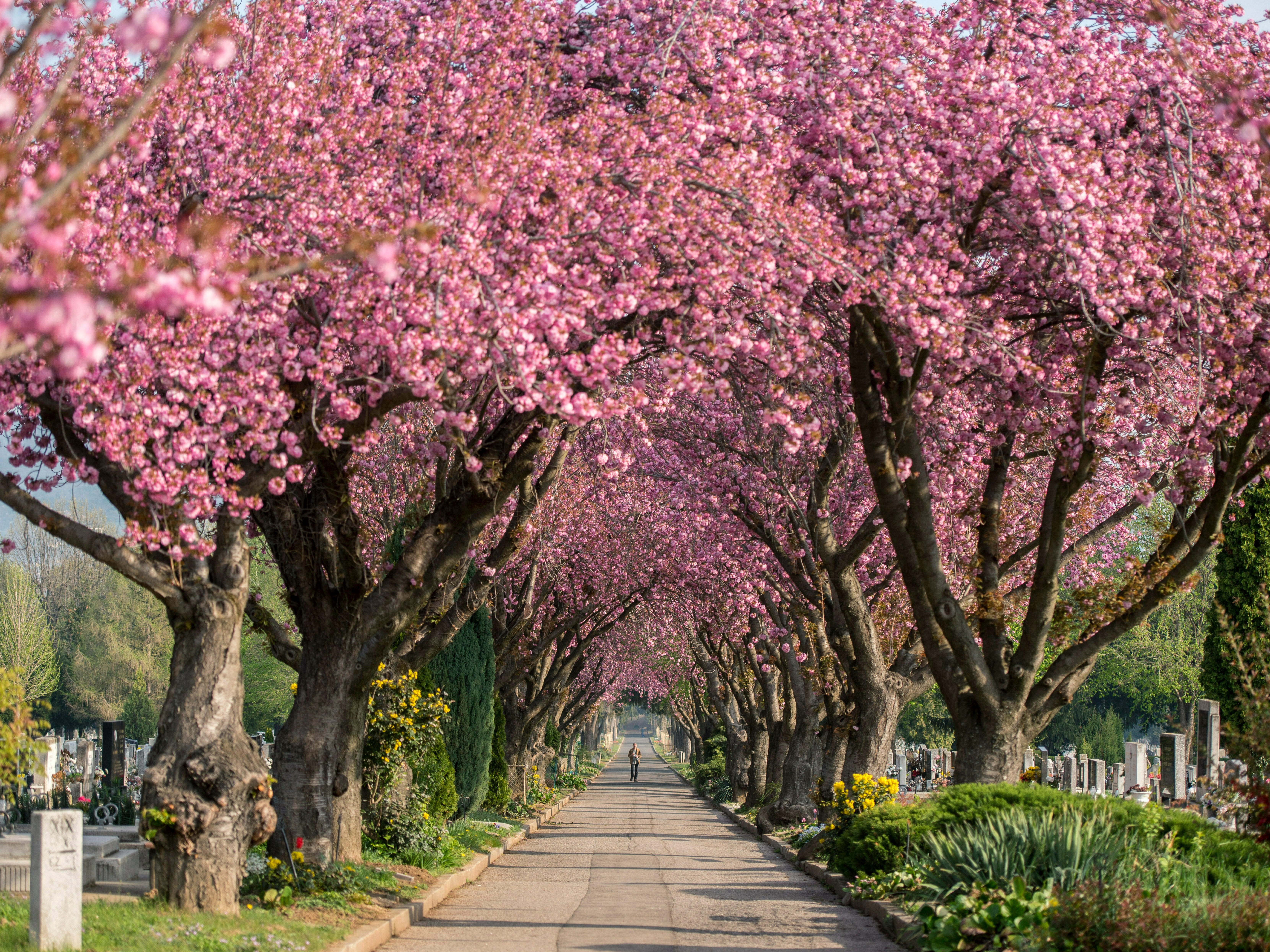 Japanese cherry (Prunus serrulata) trees bloom in the cemetery of Pecs, some 120 miles south of Budapest, Hungary, Tuesday, April 9, 2019, when the daily peak temperature will reach 70 degrees in most regions of the country.
