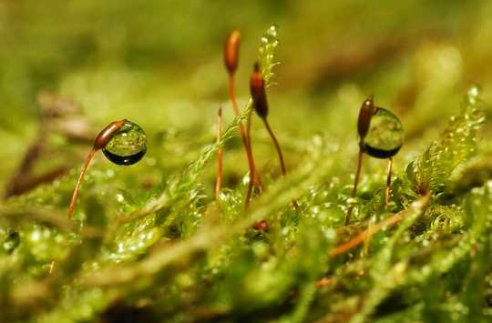 Water droplets on moss sporophytes.
