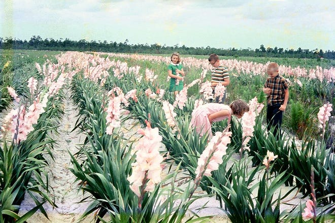 The 1441 acres of Gulf Coast Farms along Matlacha Pass south of Pine Island Road once bloomed with the Easter colors of 18 million gladiolus bulbs planted annually.