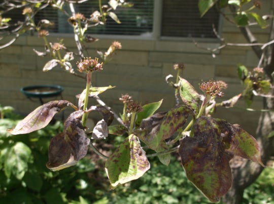 Anthracnose can show up on dogwoods and many other shade or ornamental trees, brought on by cool, wet spring weather.