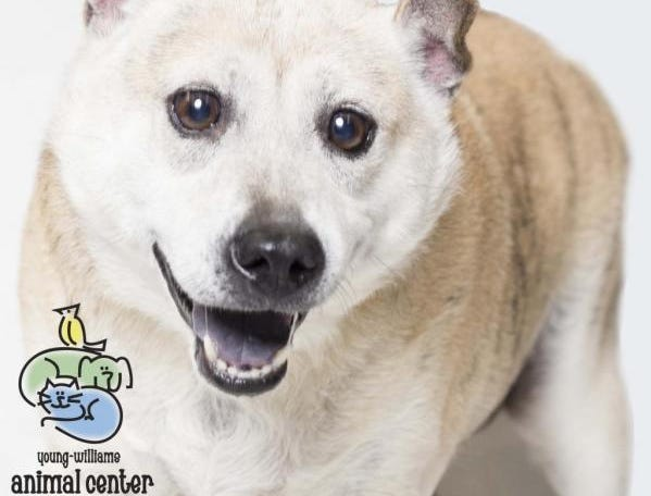 """Hi! I'm Sunshine! Like my name suggests, I'm always happy-go-lucky. I am so sweet, friendly, and cheerful. I love to nap and laze around, but also love my toys! Treats are a must. I love belly rubs. I know some tricks like """"sit"""" and """"down."""" Because I'm a bit of an older girl, I prefer to meet the whole family before I go home with them: kids and other dogs included. Info: young-williams.org."""