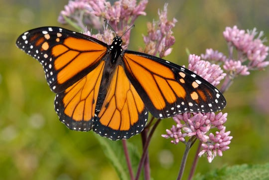 Monarch Butterfly's are taking over LARC's Acadian Village for a good reason