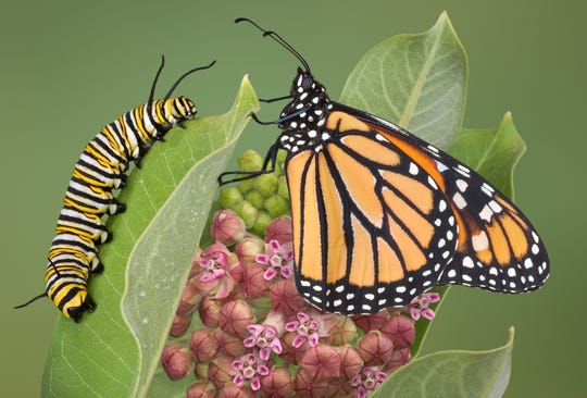 A monarch is sitting with an adult caterpillar on a milkweed plant. This is the only plant the monarch will lay eggs on and the caterpillar will eat.