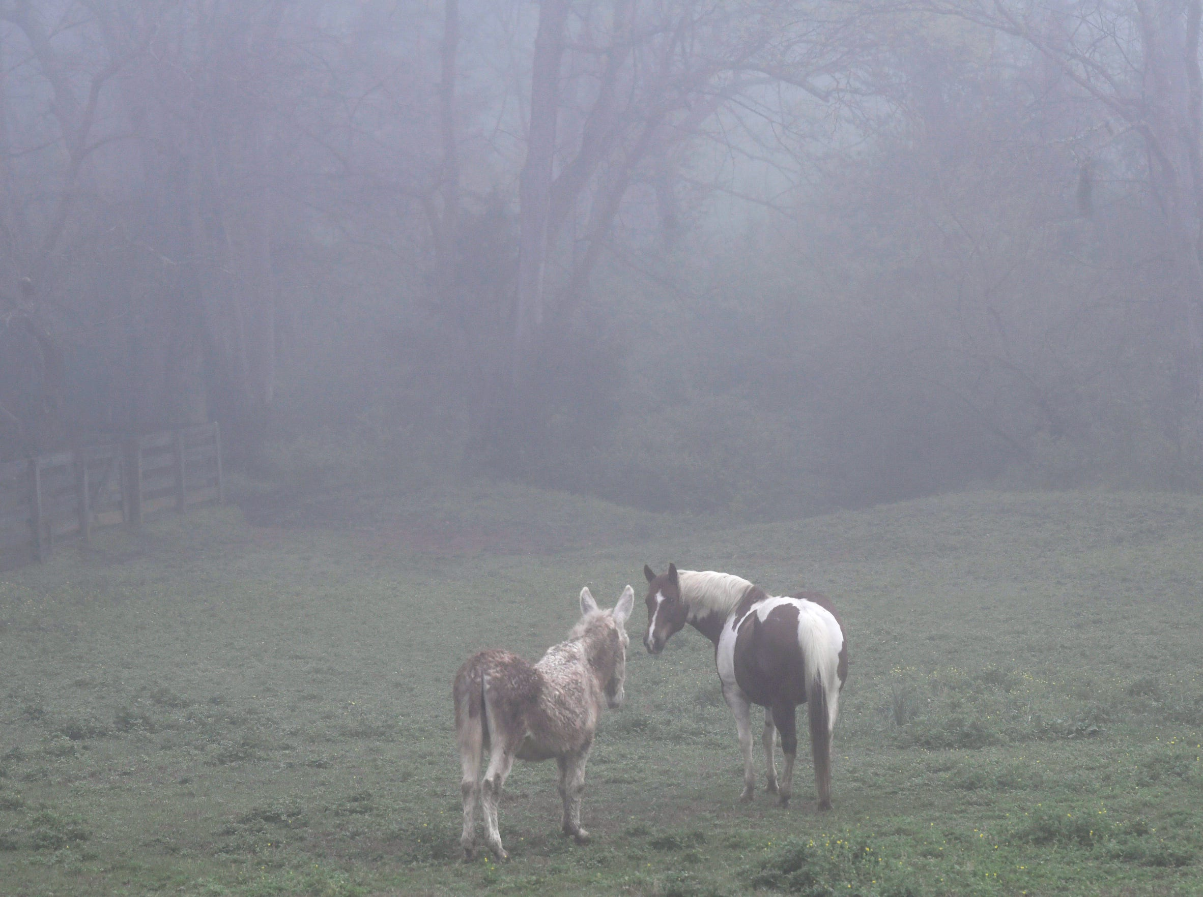 A mule and a horse gaze in a field on Murray Lane in Brentwood on April 8, 2019. A dense fog advisory was issued for Middle Tennessee on Tuesday morning.