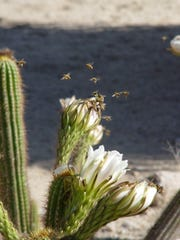 Bees mobbing a Trichocereus at dawn, before the flowers open all the way.