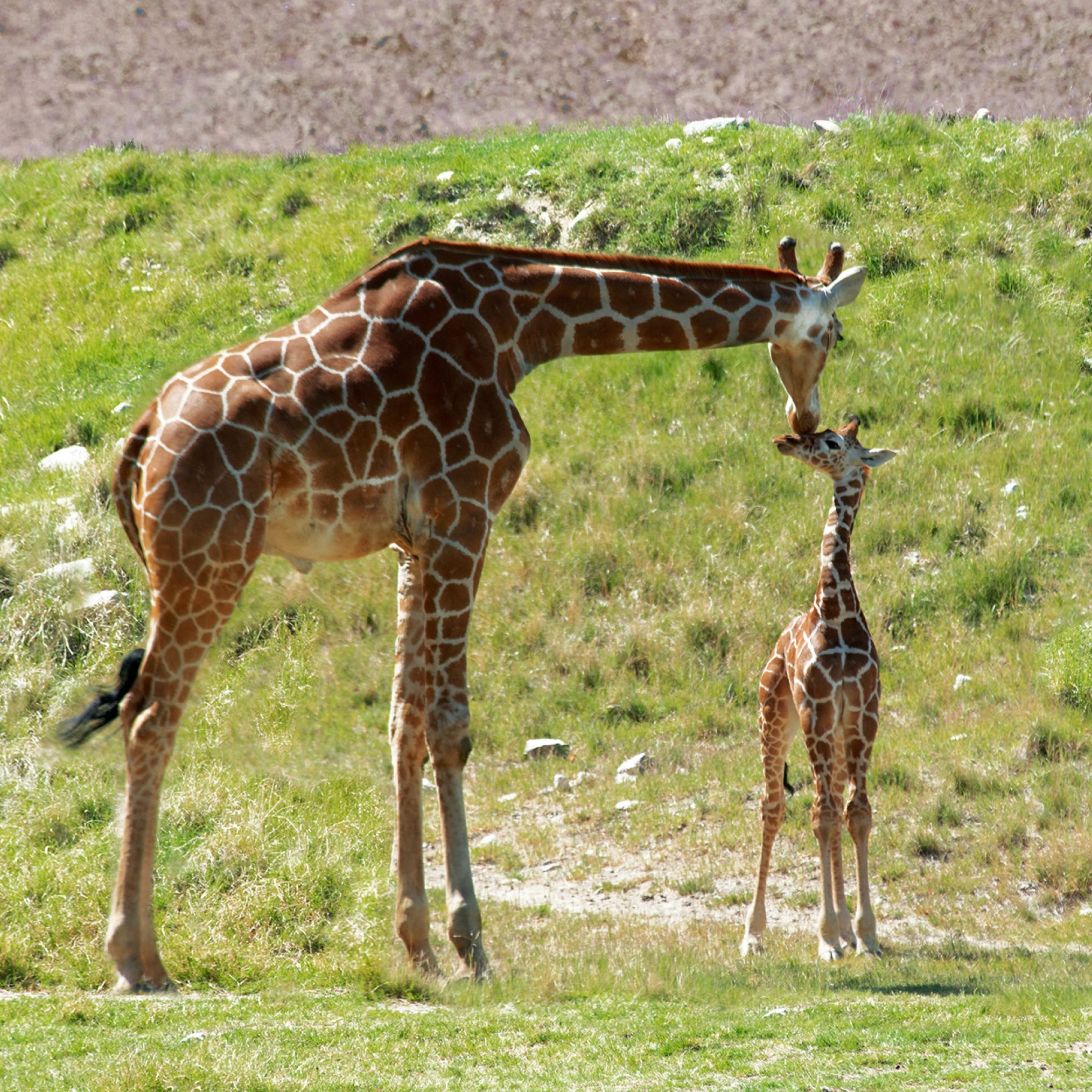 Vicki Lou, who? That's the newest giraffe at The Living Desert, not a Dr. Seuss character