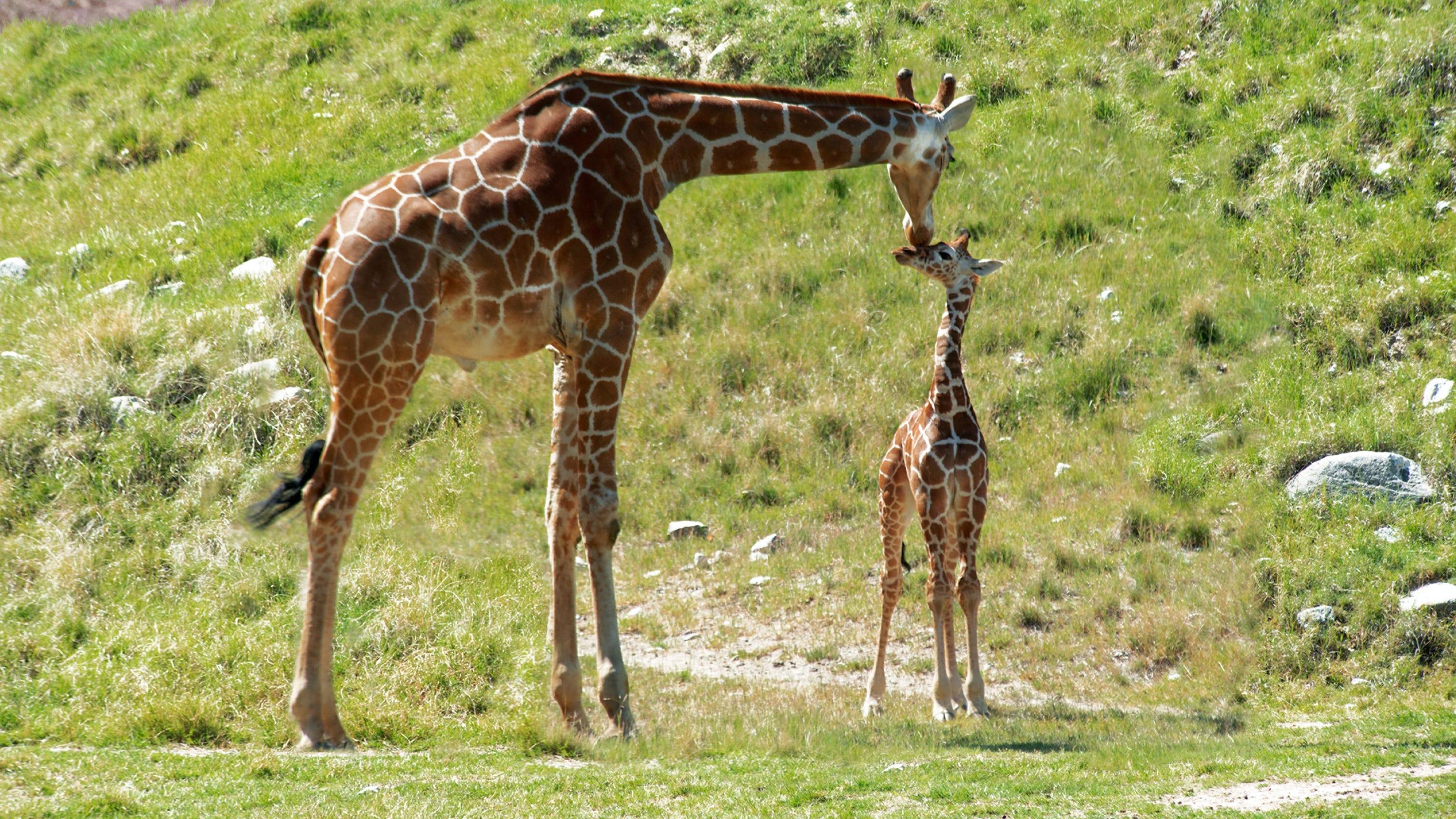 Baby Giraffe At Palm Springs Area Zoo Named Vicki Lou