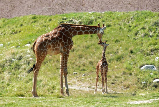 The Living Desert Zoo and Gardens name its newest giraffe calf born March 20, 2019. The calf, Vicki Lou, was named through a gift of $100,000 by an anonymous donor, and was named in honor of a loved one. It is pictured with its mother, Dadisi.