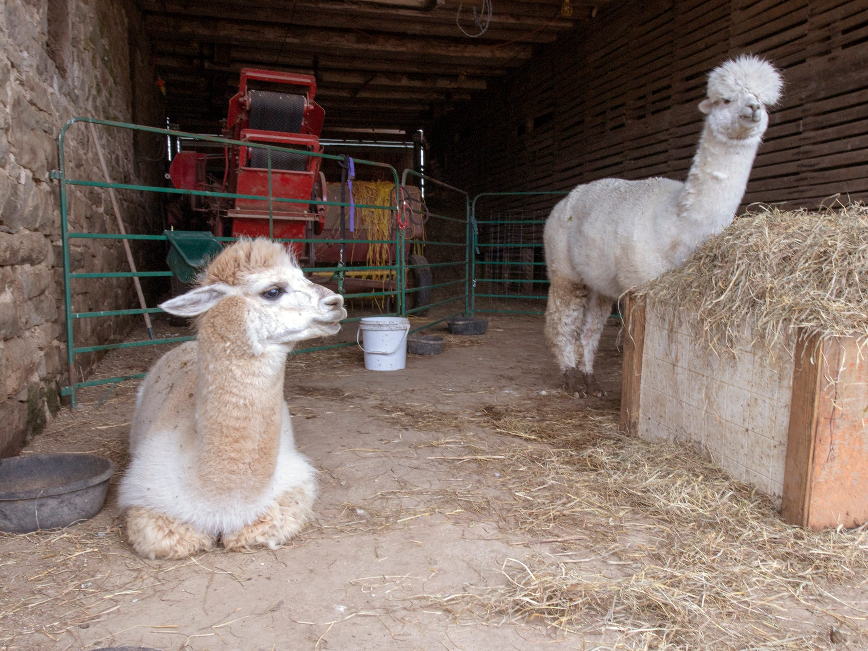 An alpaca at left is 'cushing,' a way to describe the way the animal rests and sleeps. Four alpacas at Painted Spring farm in Jackson Township were killed in a dog attack recently, one was in the cushing position when it was found injured after being mauled, according to Beth Lutz, who owns the farm with her husband.