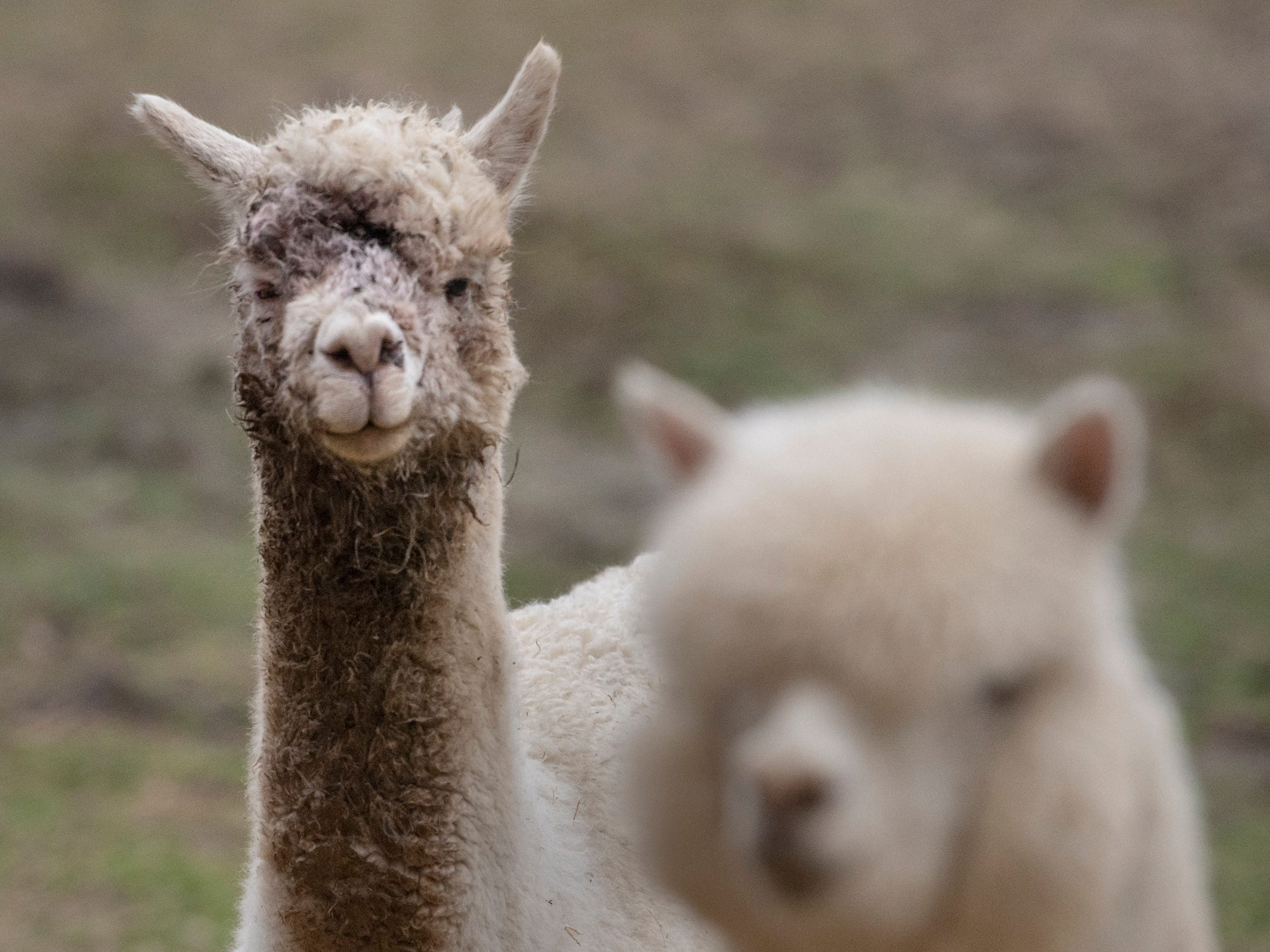 The alpaca at left survived after its face was mauled at a farm in Jackson Township where several alpacas were killed in a dog attack.