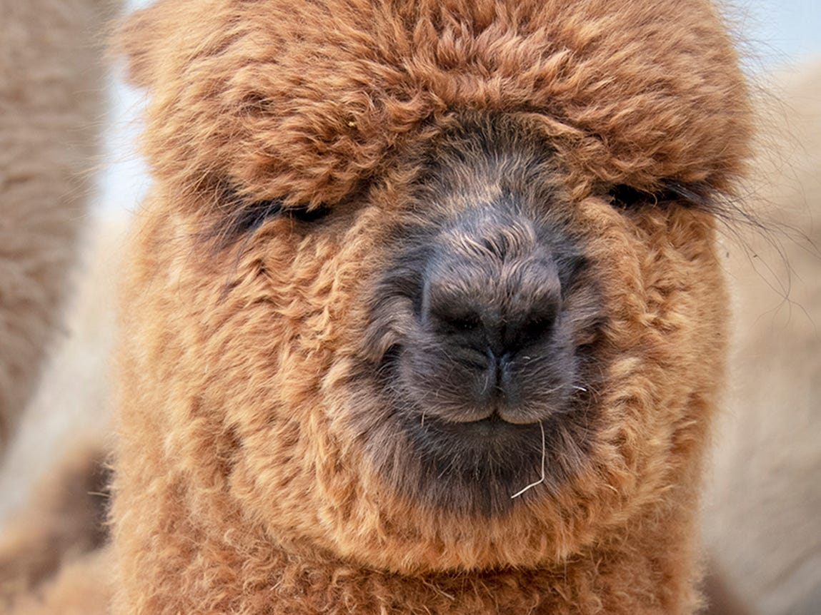 A baby alpaca eyes the camera at the Painted Spring Farm in Jackson Township.
