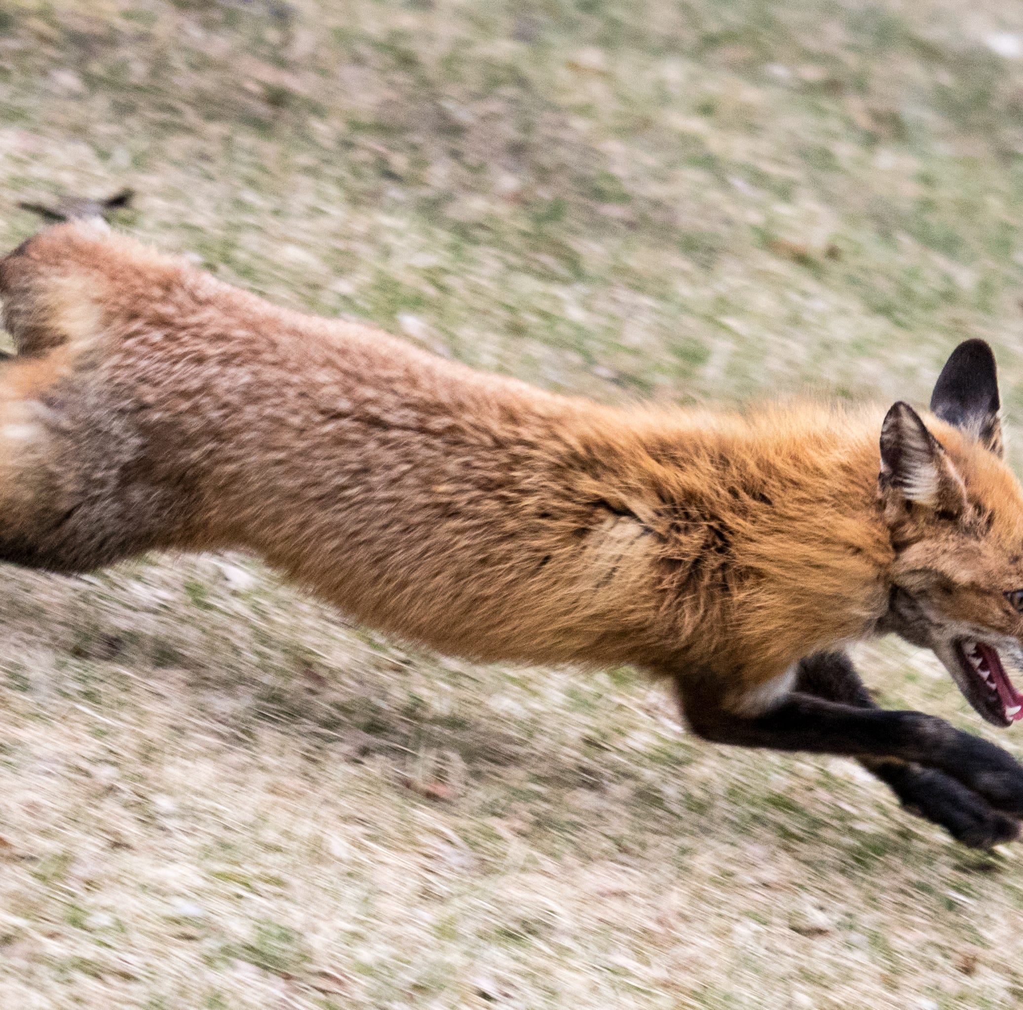 This fox at the UR became a social media hit. Now it's running for office.