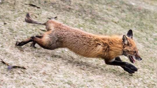 """""""Quad Fox"""" expends some of his energy running around the University of Rochester campus."""