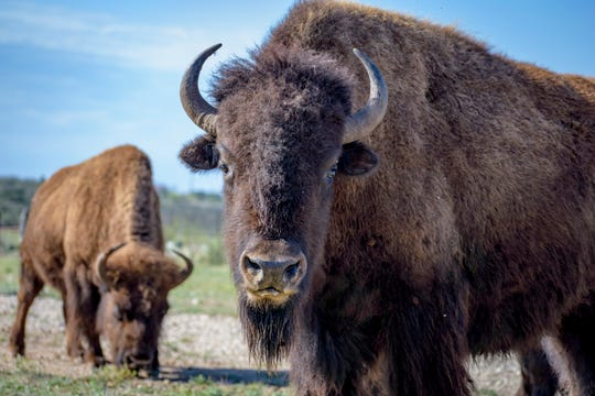 Bison seen during a tour Saturday, April 6, 2019, at the San Angelo State Park.
