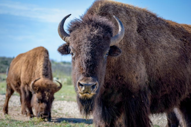 The state of Kentucky is taking sealed bids for three bison calves.