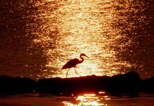A blue heron walks along the rocks as the early morning sun is reflected over the Chesapeake Bay in North Beach, Maryland.