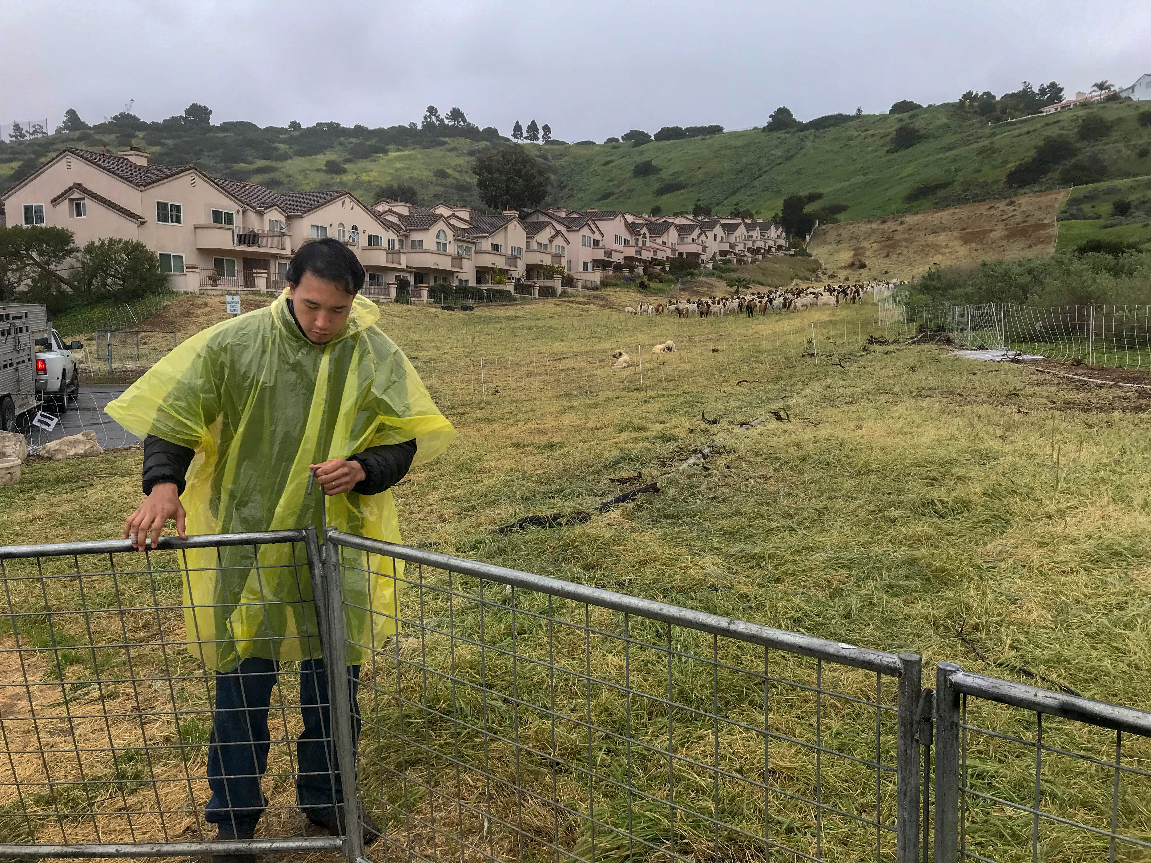Michael Choi, the owner of Fire Grazers Inc., adjusts a goat pen in Rancho Palos Verdes on a rainy day in March. The city paid Choi $100,000 for his goats to eat vegetation on about 60 acres over the course of three months. The goats reduce fire risks around homes.