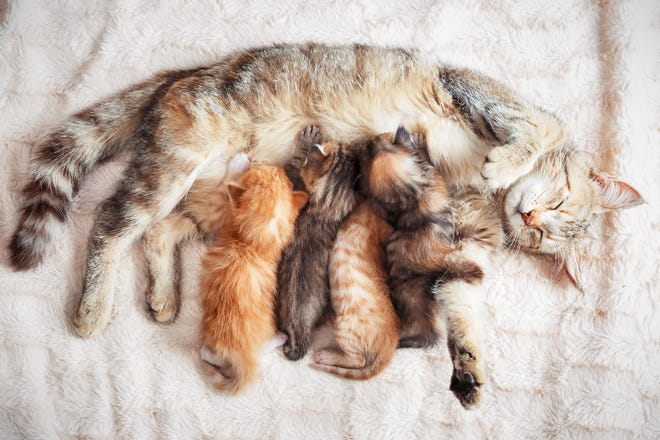 It is essential that infant kittens be kept with their mothers for as long as possible.