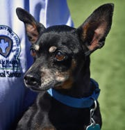 George is a 12-year-old, black and tan, miniature Pinscher. He is neutered, energetic, friendly and outgoing. George and many of his friends are available for adoption at the Wichita Falls Animal Services Center.