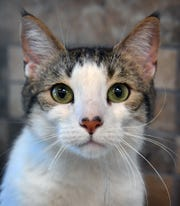 Mary is a 2-year-old, white and gray, spayed, domestic short-haired cat.She is sweet, calm and gets along with other cats. Mary and many of her friends are available for adoption at the Wichita Falls Animal Services Center.