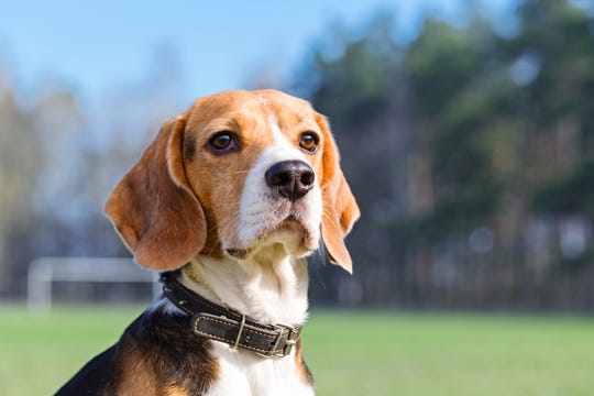 The nose knows: Beagles were able to sniff out cancer in human blood with 97% accuracy, new research said.