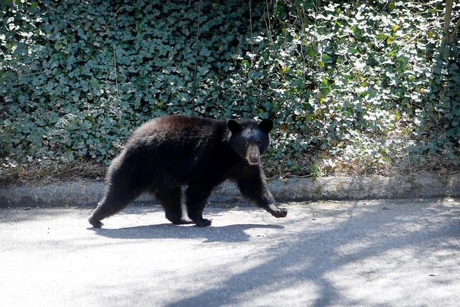 A bear walks through the parking lot of an apartment building in North Asheville on April 10, 2019.