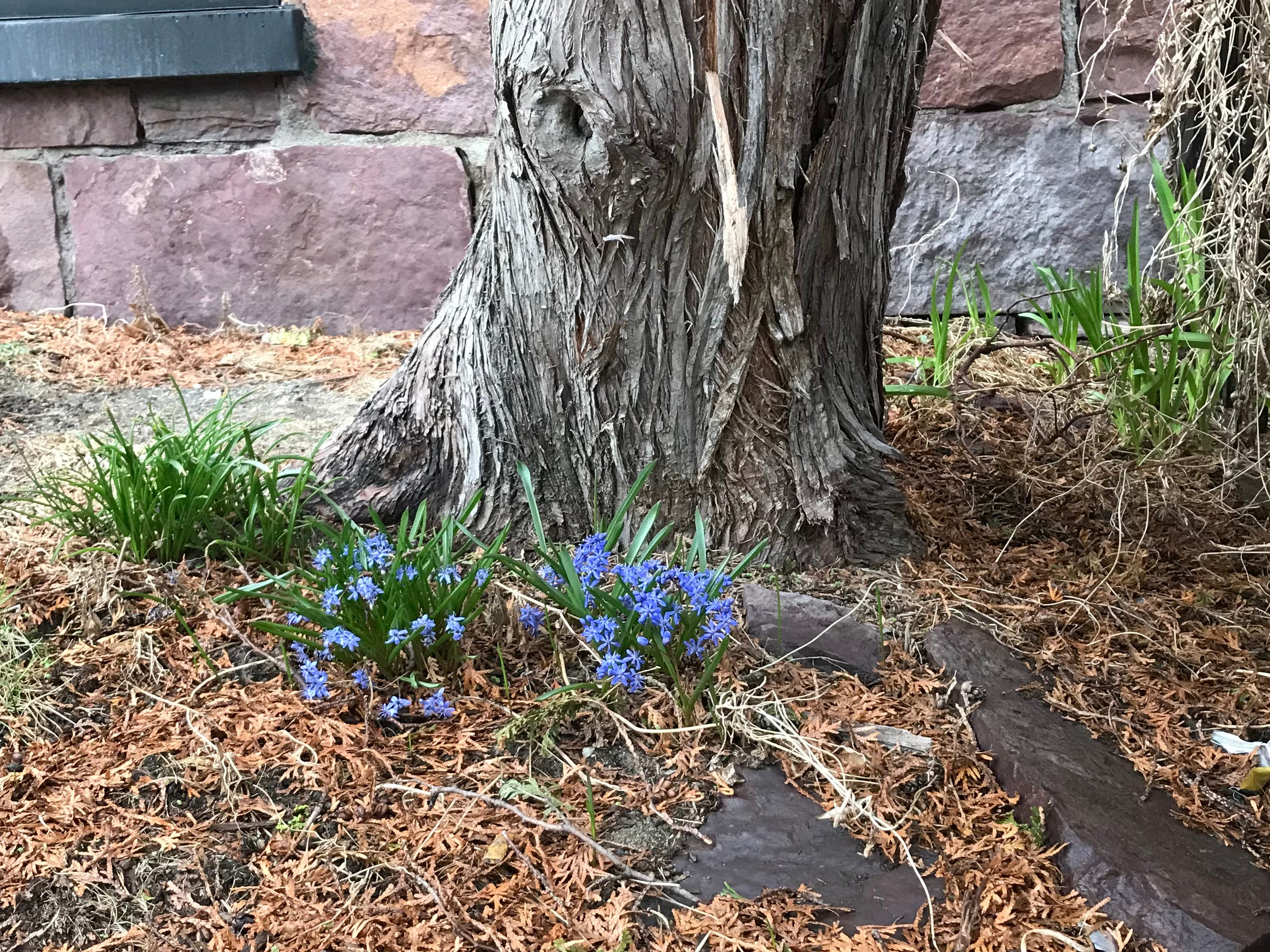 Siberian squill emerges from beneath a cedar tree at the sun-drenched corner of Pine and Main streets in Burlington on Monday, April 8, 2019