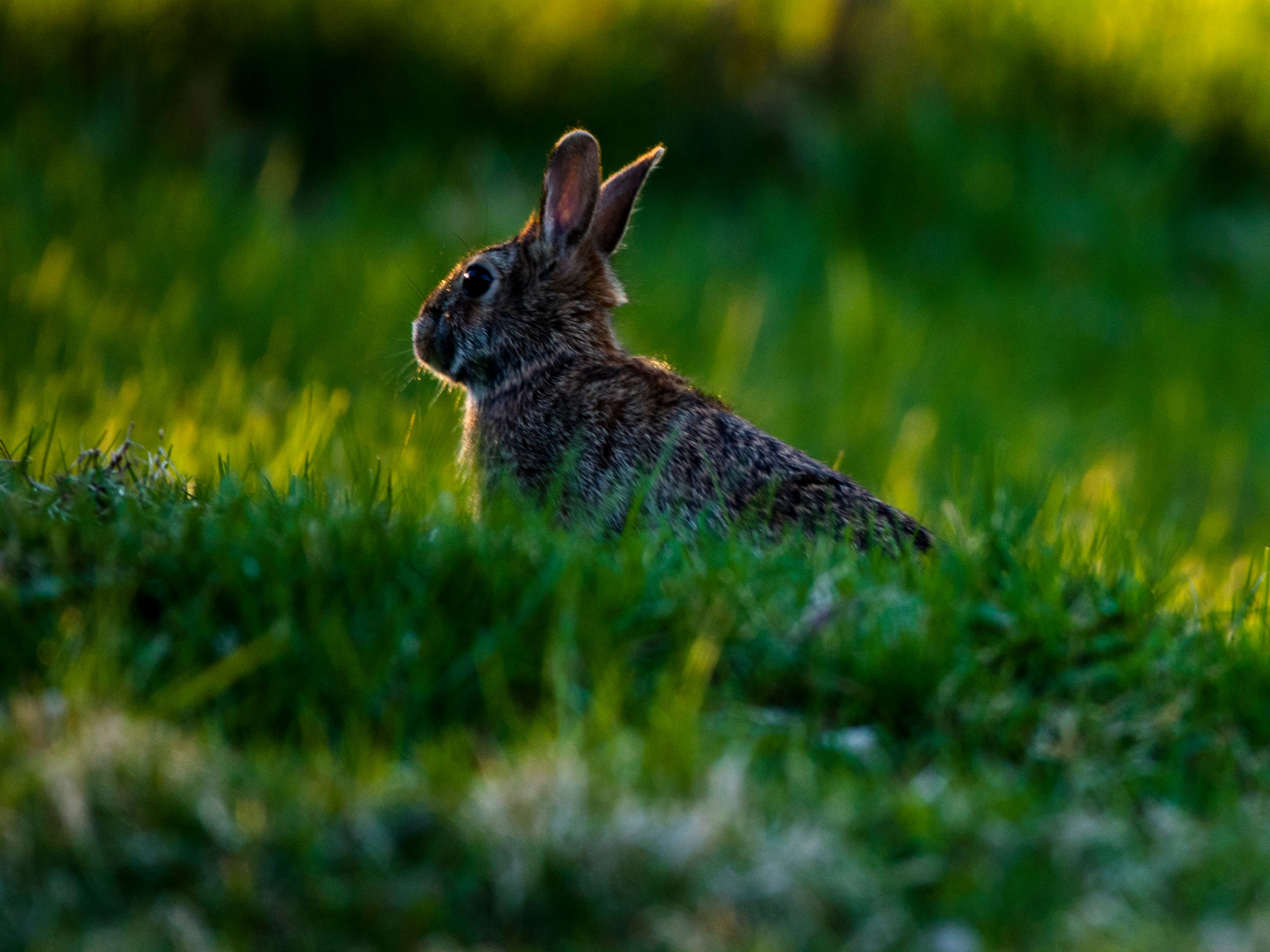 A rabbit sits in the back yard in a residential neighborhood in West Price Hill on Tuesday, April 9, 2019.